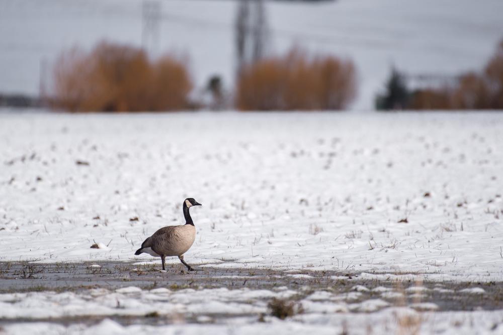Palouse Goose