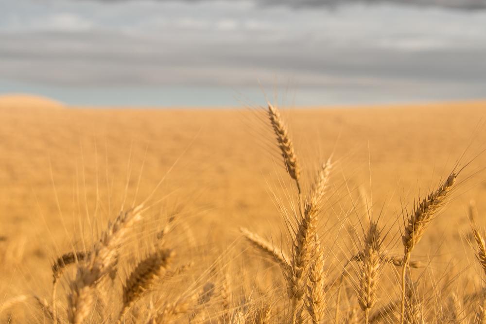 Wheat Closeup #1