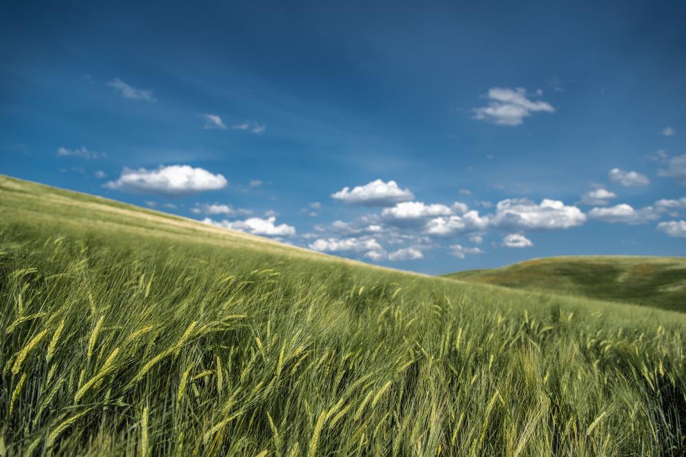 Summer Wheat Fields