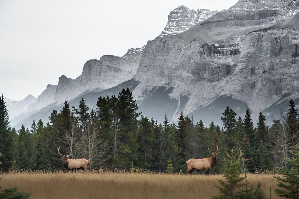 Bull Elk and the Canadian Rockies