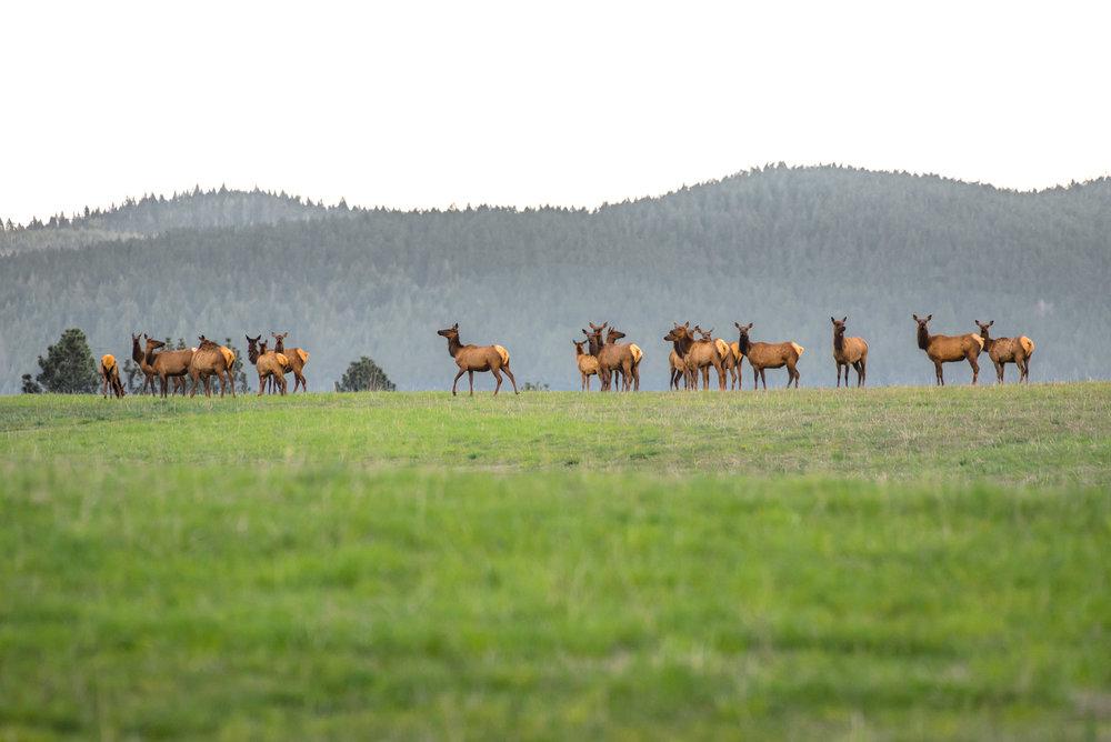 Skyline Elk