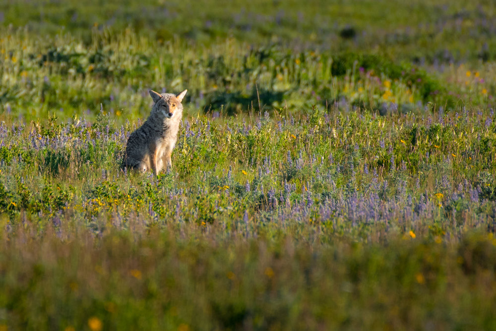 Lazy Morning Coyote