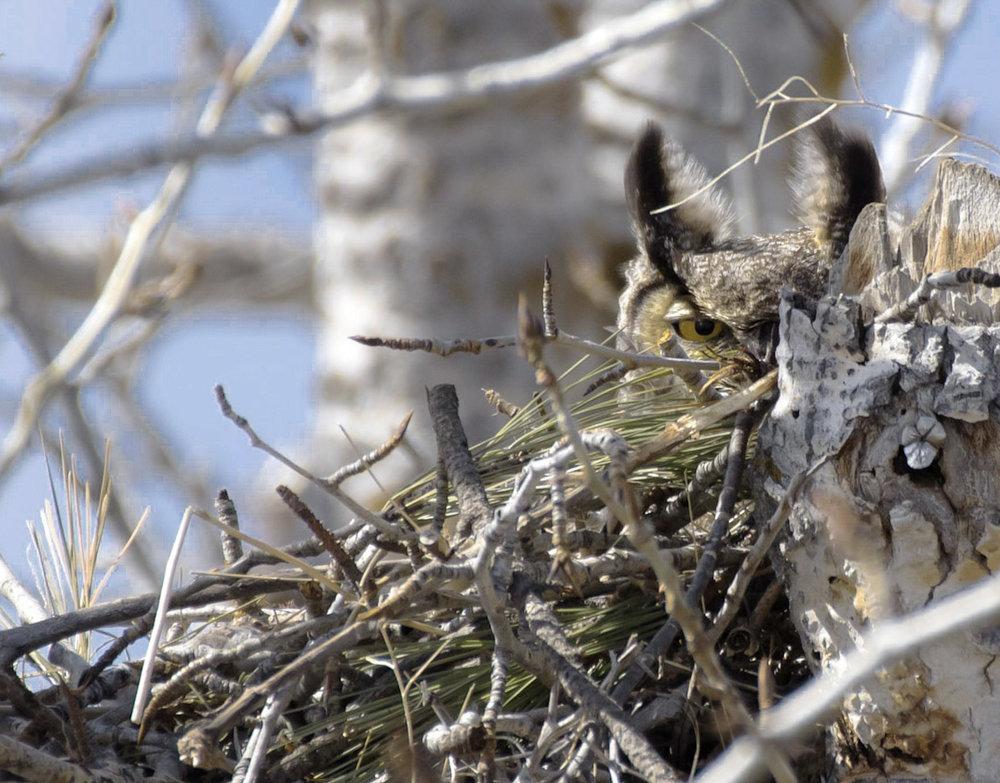 Great Horned Owl - One Eye Open