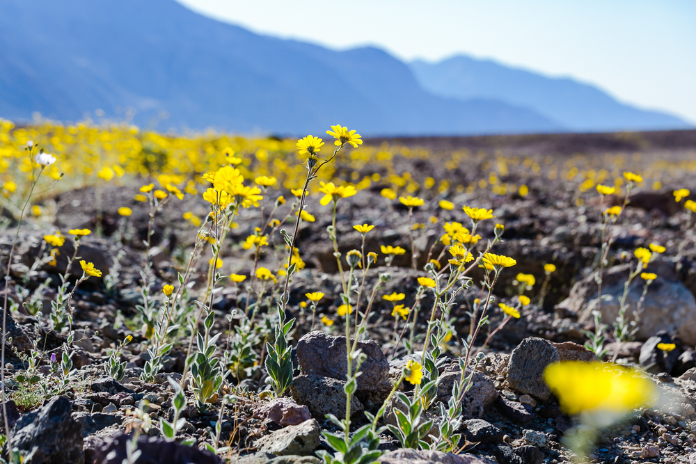 20160128_DeathValley_SuperBloom@JonesPhotographyCompany-011.JPG