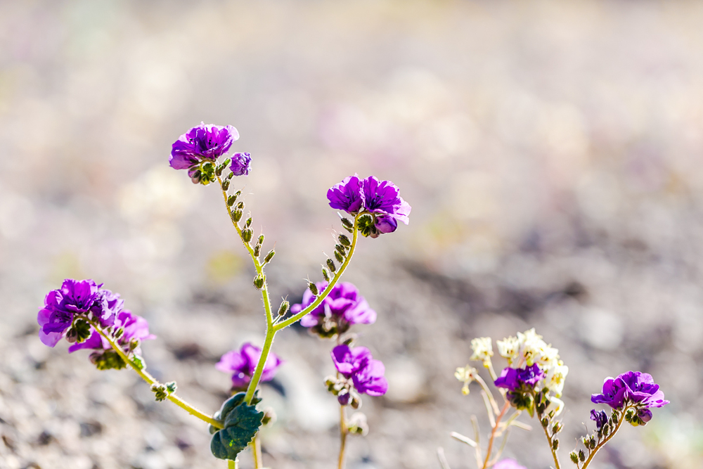 20160128_DeathValley_SuperBloom@JonesPhotographyCompany-030.JPG