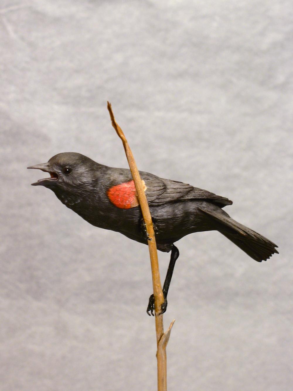 Red-winged Blackbird, Miniature, ♂
