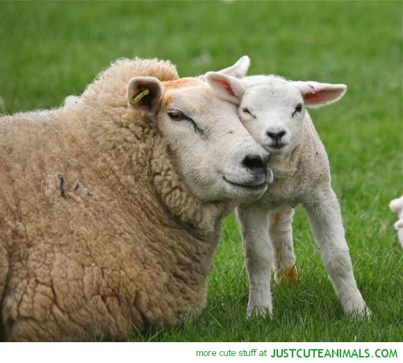cute-animal-pictures-mom-lamb-sheep-hugging.jpg
