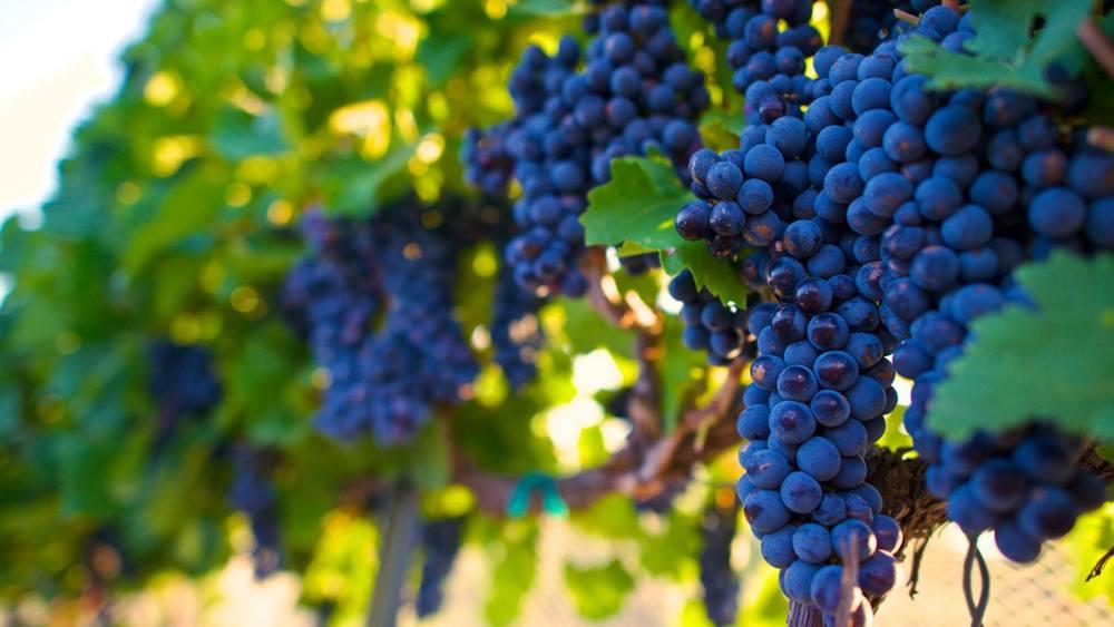 more_grapes.jpg