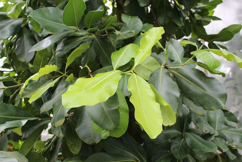 Tamanu_leaves.jpg