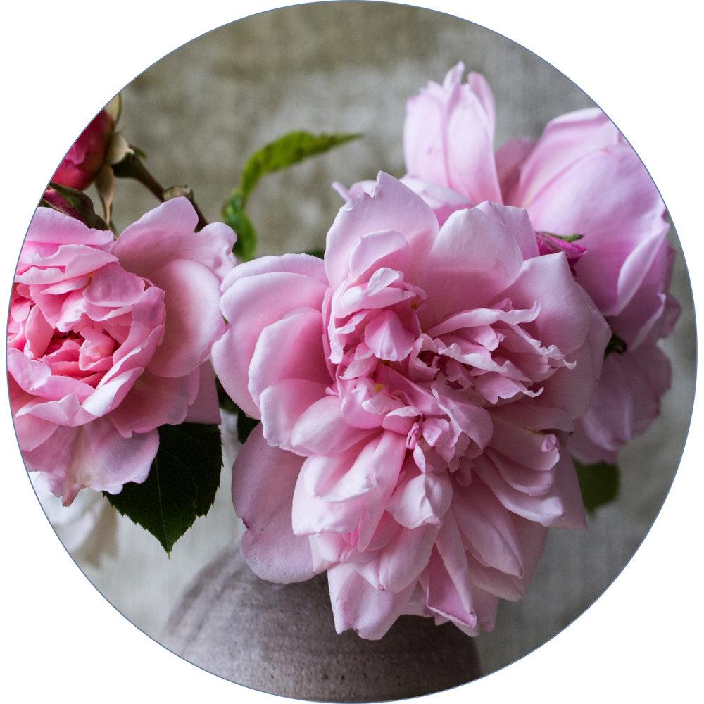 ageless-line-rose.jpg