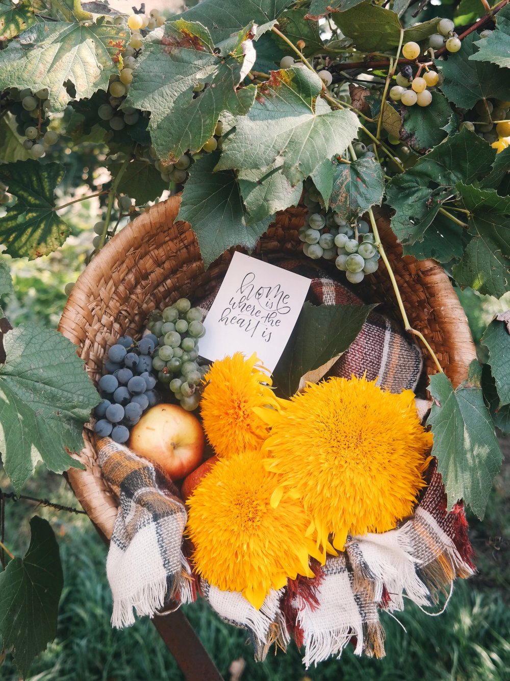 A late Summer harvest of grapes and sunflowers in a basket