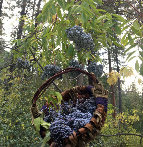Blue Elderberry in its natural environment!