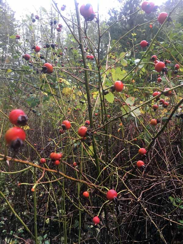 An abundant Stash of Wild  Rose Hips -  Ready for Harvest