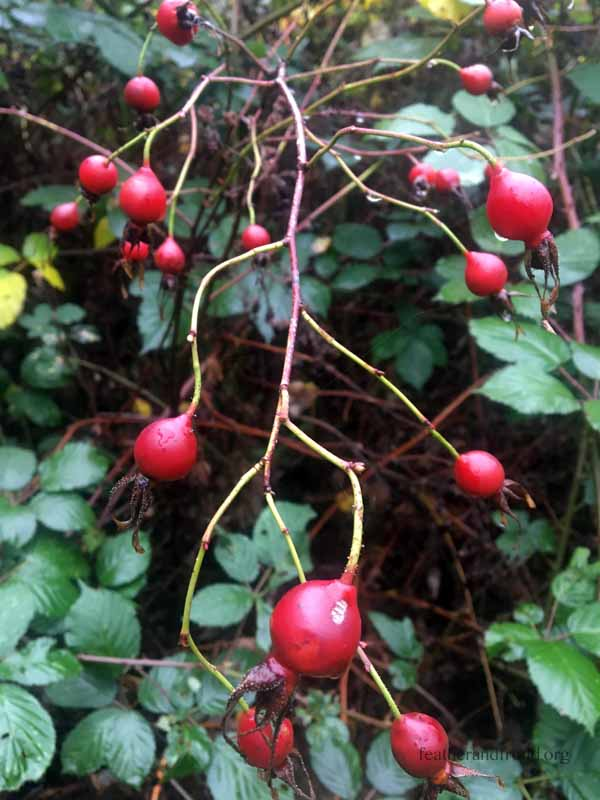 Wild Rose Hips - Beautiful colors and packed with Vitamins and Minerals!
