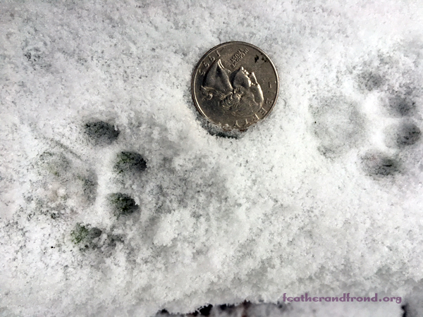 4 toes, no claws, and not much bigger than a quarter