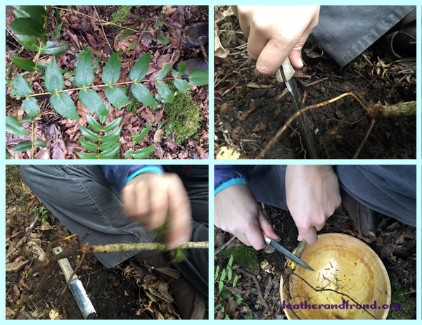 Harvesting the OreGon Grape root, Brushing off the Dirt, and Stripping the bark!