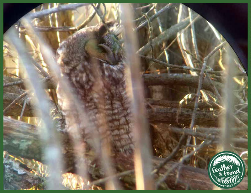A Groggy Long-eared Owl  ( Asio otus)   waking up in Stanwood, WA...
