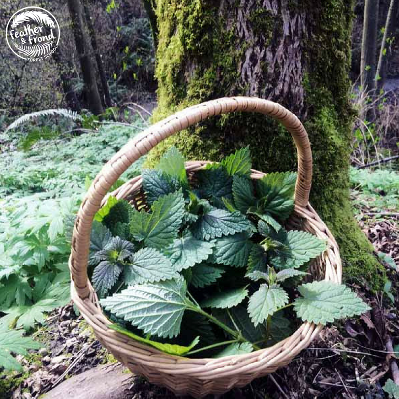 Gratitude for the Abundance of Nettles that grow in the PNW!