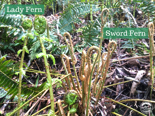 Lady Ferns and Sword ferns like to hang out together-  make sure that you know which one is which before you harvest, as Sword Fern fiddleheads are not edible!