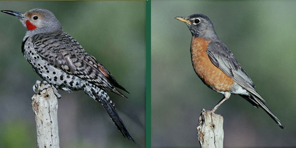 "Northern Flicker and American Robin displaying ""sentinel"" alarm"