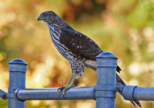 Is it eerily silent in the forest?  Perhaps the presence of this Cooper's Hawk is the reason why!