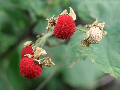 Delicious thimbleberries... pat's favorite!