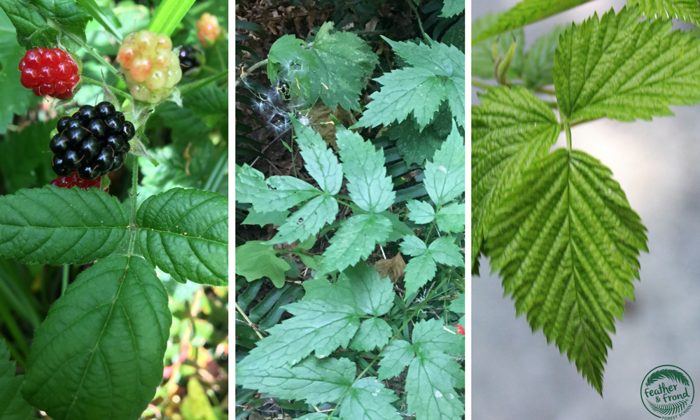 Comparison of trailing Blackberry leaf (left), Red baneberry Leaf (center) and Salmonberry Leaf (right)