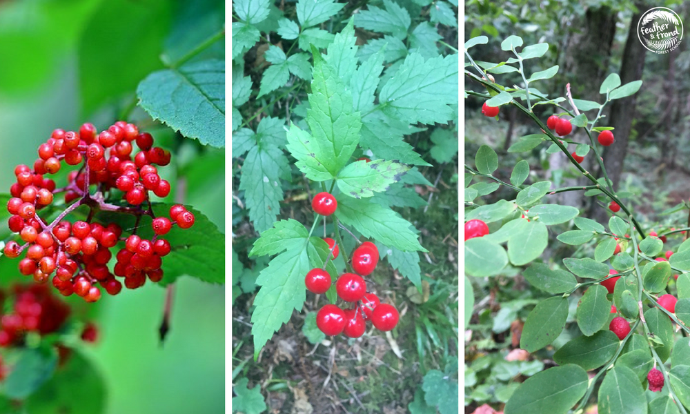 Comparison of Red Elderberries (Left), Red baneberries (Center), and Red Huckleberries (Right)