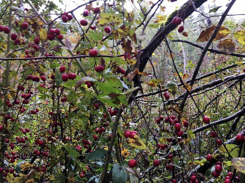 Hawthorne berries!