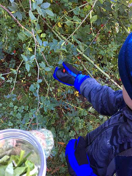 Collecting Rose Hips for our Forest Salve