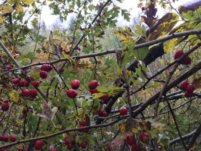 Hawthorn Berries!