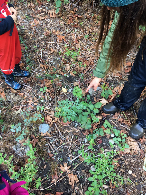 Melissa pointing out a toxic Poison-hemlock plant