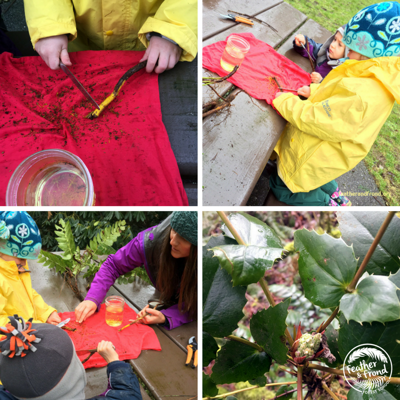 Kids love to lend their helping hands in the harvesting and preparation of plant medicine!   We use butter knives to Scrape the Oregon Grape root bark with our students.