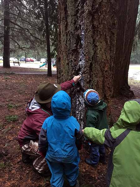 "Harvesting Douglas Fir pitch to ""glue"" the bird perches on the feeder"