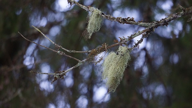 "Usnea AKA ""Old Man's Beard"" Can Easily be found Hanging from Tree Branches"