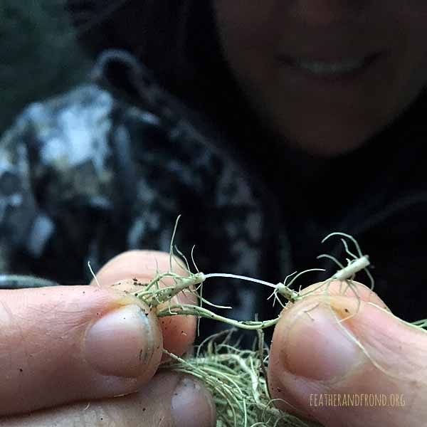 "THis ThiN White Inner ""Thread"" is a DistinguishINg Feature of USnea."
