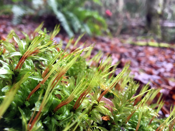 Moss sporophyte offspring developing
