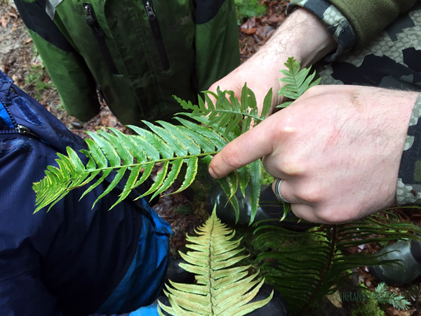 comparing Sword and Licorice Ferns