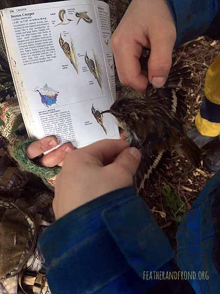 Examining Brown Creeper wings