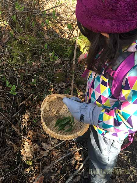 Foraging for late winter edibles. . . Indian Plum leaves are a favorite!