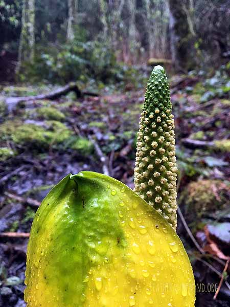Stinky Skunk Cabbage!
