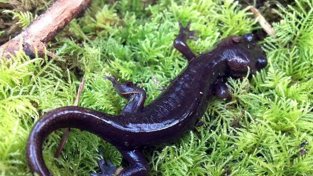 Northwestern Salamander!