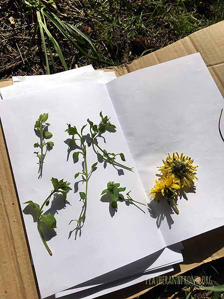 Chickweed and Dandelion in the plant press