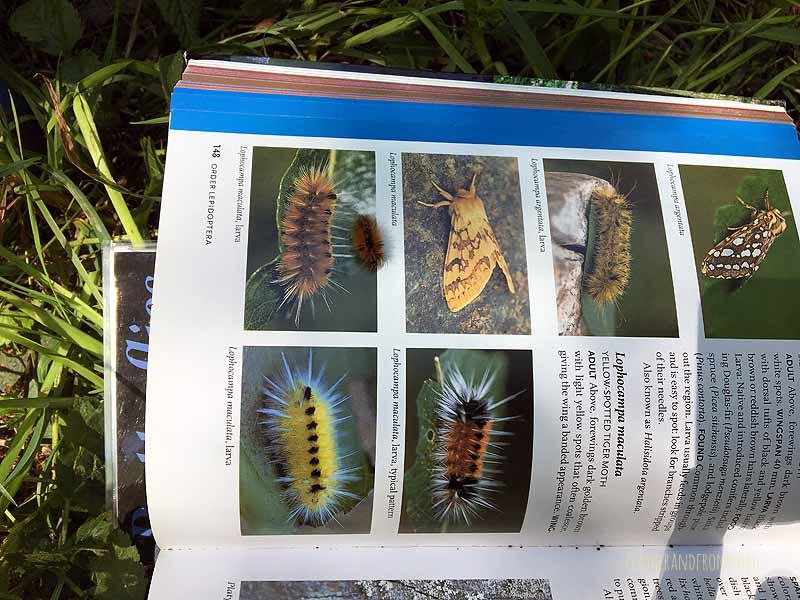 Caterpillar ID