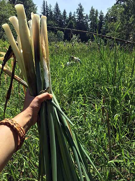 A successful Cattail harvest