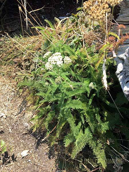Some Healthy looking Yarrow that I found at the beach the other day!