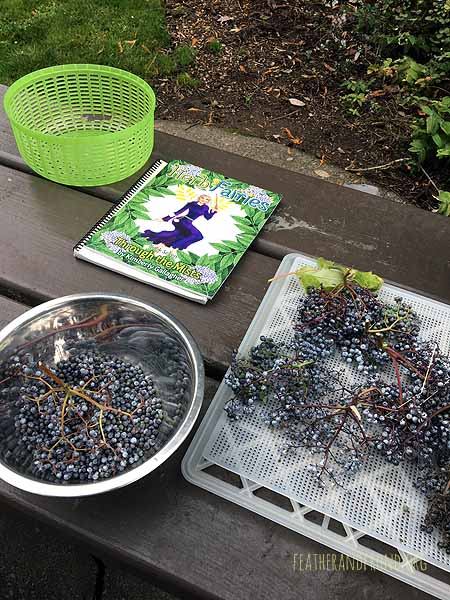 Blue Elderberries from Eastern WA