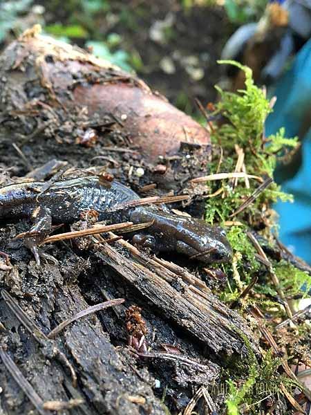 Northwestern Salamander??