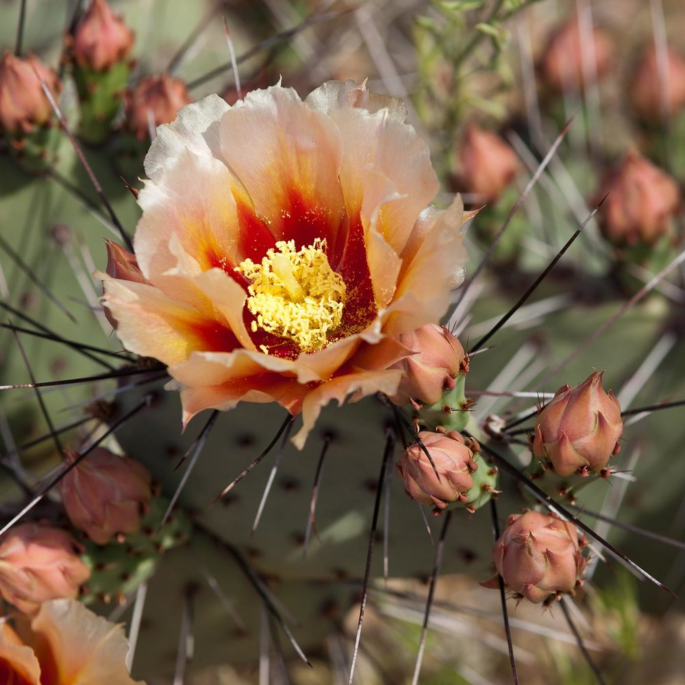 Big-Bend-National-Park-ABP-Prickly-Pear-Bloom.jpg