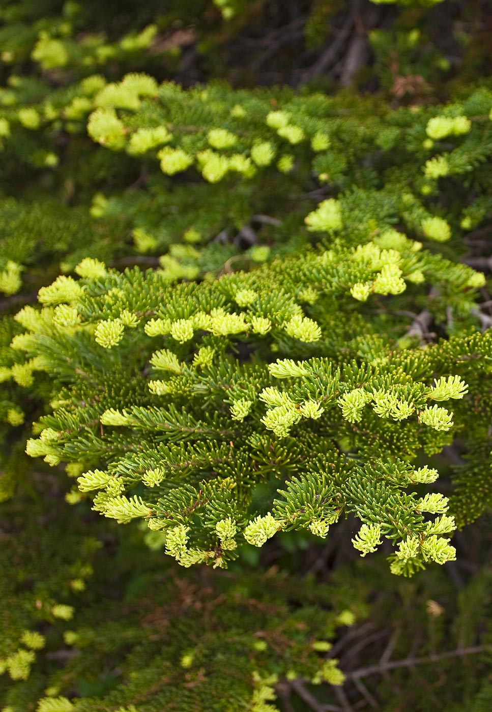Mount-Rainier-National-Park-ABP-Subalpine-Fir-detail.jpg